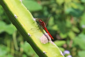 Dragon fly that was sitting on the Dragon fruit plant...